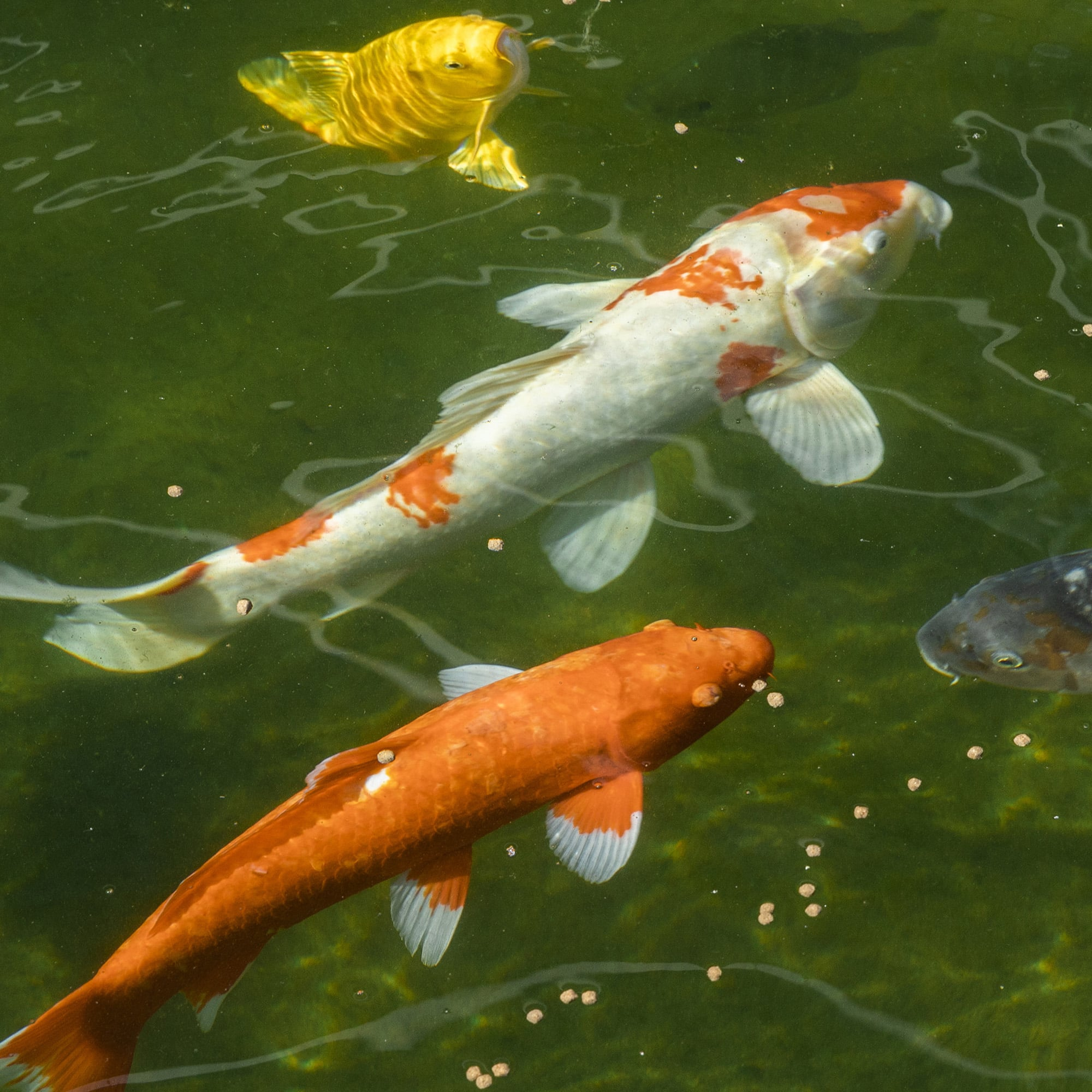 Best Of Caretakers Of The Koi Fish The Woodlands